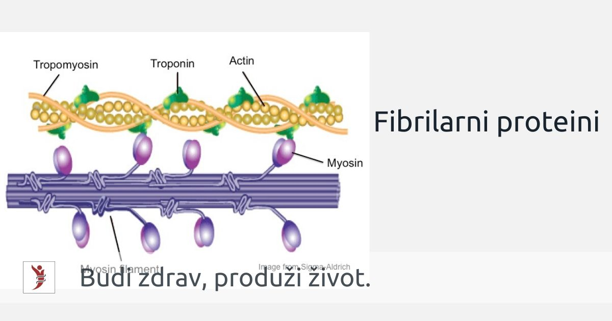 Fibrilarni proteini Foto: https://www.crossfitinvictus.com/blog/muscle-contraction-really-cool-protein-called-myosin/